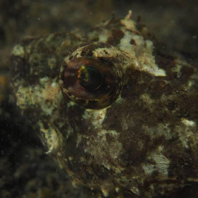 Groene zeedonderpad (Taurulus bubalis)
