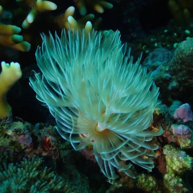 這幾天才在想,剛學潛水拍照時很喜歡的管蟲,感覺好久好久沒看到了,結果今天這支氣瓶就看到飽拍到飽!