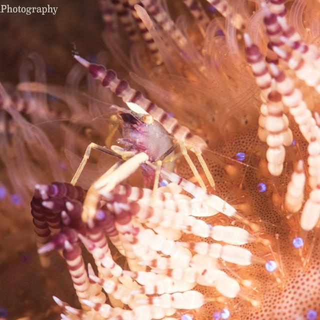 Coleman Shrimp, Periclimenes colemani, Alor, Indonesia