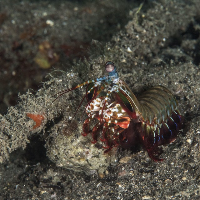 Peacock Mantis Shrimp, Odontodactylus scyllarus, Alor, Indonesia
