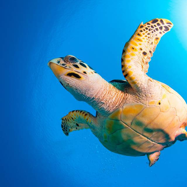 House reef turtle