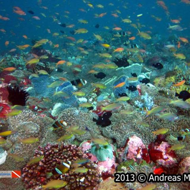 Anthias swim on top of reef