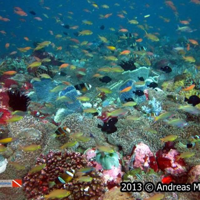 Anthias swim on top of reef