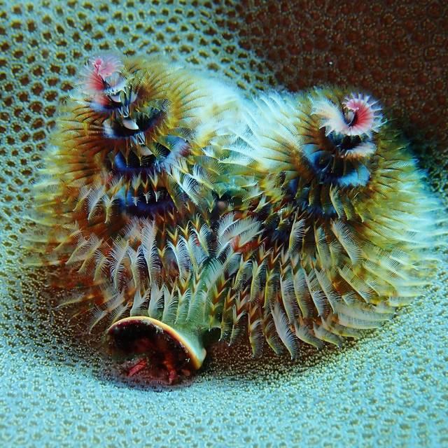 Rainbow Christmas Tree Worm (Spirobranchus giganteus)