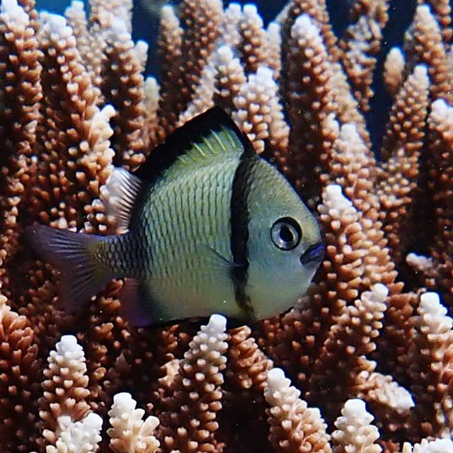 Two-stripped Damselfish (Dascyllus reticulatus)